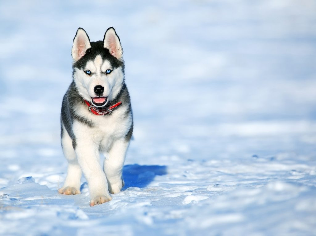husky dog breed